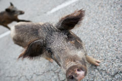 Wild boars crossing the road Stock Photography