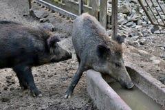 Wild boars stock image