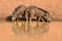 Wild boars drinking. A pair of wild boars drinking at a waterhole at Bandhavgarh National Park in India Royalty Free Stock Images