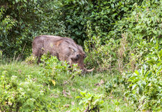 Wild boars eating Stock Photography