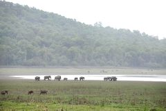 Wild boars and Elephants in the Dhikala grassland Royalty Free Stock Photo