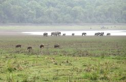 Wild boars and Elephants near RamGanga reservoir, Dhikala Stock Photography