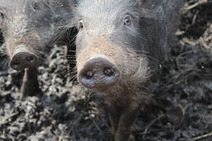 Wild boars Stock Images