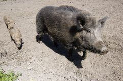 Wild boars family Royalty Free Stock Image