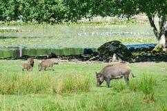 Wild boars family on the lake coast Royalty Free Stock Photography