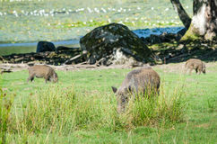 Wild boars family looking for food Stock Images