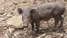 Wild boars family Royalty Free Stock Photo