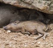 Wild boars family Stock Image