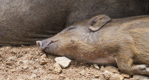 Wild boars family Stock Images
