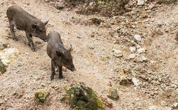 Wild boars family Royalty Free Stock Image