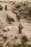 Wild boars family Stock Photo
