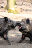 Wild boars fighting. In spring forest, motion blur Royalty Free Stock Image
