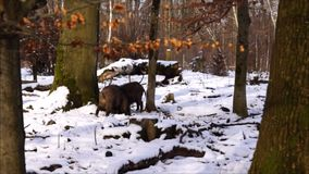 Wild boars in the forest stock video footage