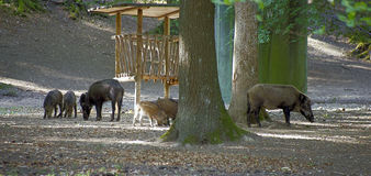 wild boars in the forest Royalty Free Stock Photography