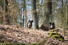 Wild boars in a forest Royalty Free Stock Images