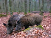 Wild Boars in from Forsthaus Kasselburg, Germany, HDR effect. Picture of wild Boars in from Forsthaus Kasselburg, HDR effect Stock Photo