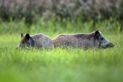 Wild boars in the grass royalty free stock photos