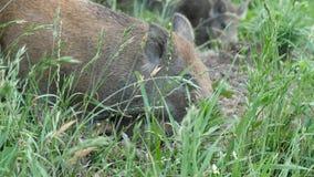 Wild boars graze stock footage