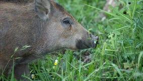 Wild boars graze stock video footage