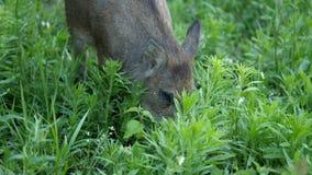 Wild boars graze stock video