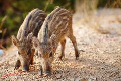 Wild boars graze on nature Royalty Free Stock Image