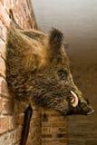 Wild boars head on wall royalty free stock photos
