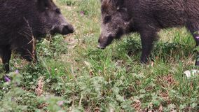 Wild boars or hog sniffing grass in the country side field stock video footage