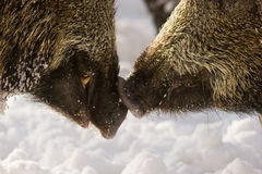 Wild boars kiss Stock Image