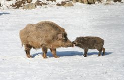 Wild boars kiss Stock Photo