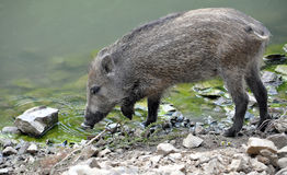 Wild boars on the lake Stock Image