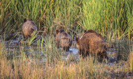 Wild Boars in Marsh Royalty Free Stock Images
