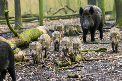 Wild boars on the move Stock Photography
