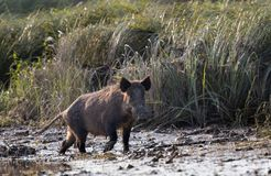 Wild boars in mud Royalty Free Stock Image