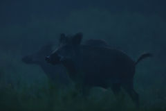 Wild boars at night Stock Image