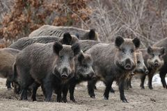Wild boars on a opening Royalty Free Stock Photography