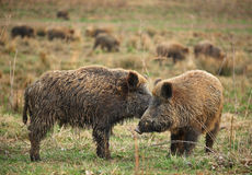 Wild Boars. The picture was taken in Hungary Royalty Free Stock Photos
