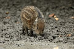 Wild boars and piglet in the forest. A Wild boars and piglet in the forest Stock Image