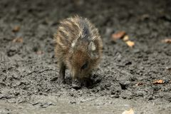 Wild boars and piglet in the forest Royalty Free Stock Photos