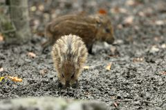 Wild boars and piglet in the forest. A Wild boars and piglet in the forest Royalty Free Stock Photography