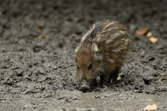 Wild boars and piglet in the forest Stock Photography