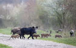 Wild boars with piglets in forest Royalty Free Stock Photos