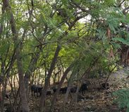 Wild Boars Resting Under Some Trees. Big Island, Kailua-Kona, Hawaii stock images