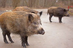 Wild boars. Through a roadside at natural habitat Stock Images
