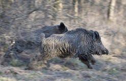 Wild boars running away Stock Image