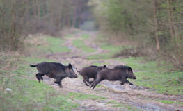 Wild boars running Stock Images