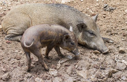 Wild boars Royalty Free Stock Photo