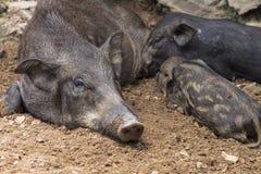 Wild boars Stock Photos