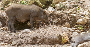 Wild boars Royalty Free Stock Photography
