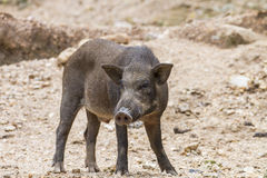 Wild boars Stock Photography