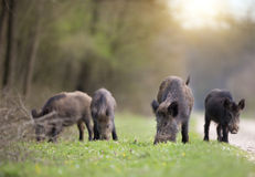 Wild boars sniffing in forest Stock Photography